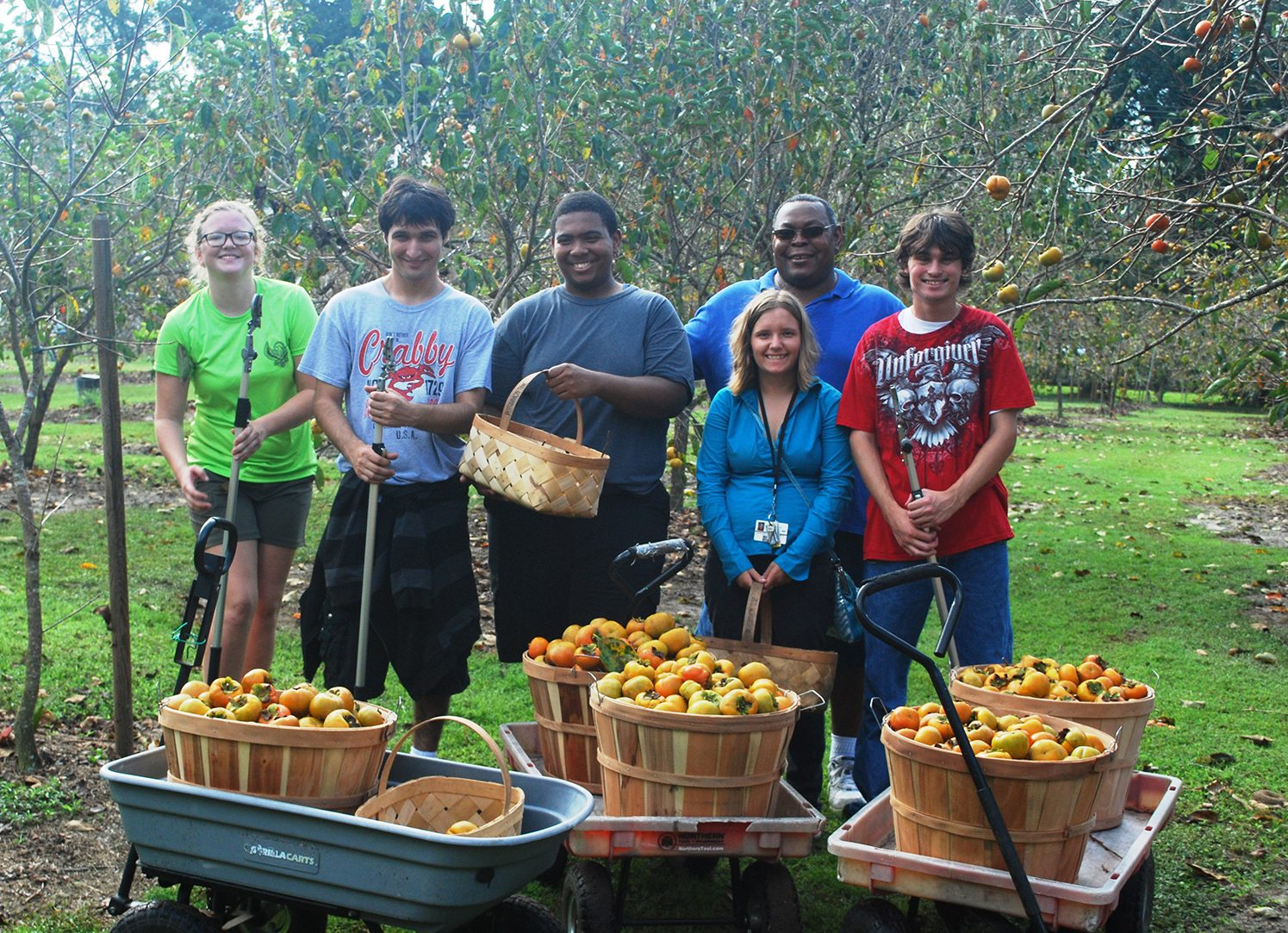 Full wagons after persimmon picking