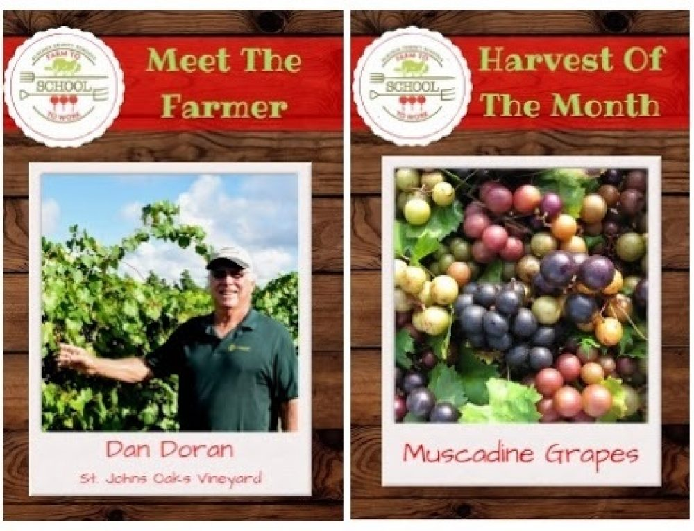 AUGUST HARVEST OF THE MONTH: Muscadine Grapes!