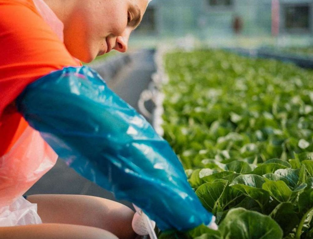 Lettuce Year-Round – Thanks to Traders Hill Farm
